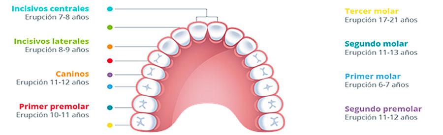 Cronología erupción dental